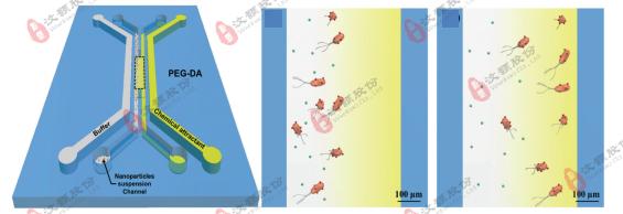 微流控浓度梯度芯片在模式生物趋化领域应用