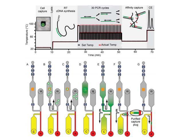 """集成微流控芯片对单细胞中基因表达量的全集成分析过程示意图[21] A~C: 单细胞被捕获在微金""""岛屿""""上; D, E: 细胞被裂解, mRNA 逆转录合成 cDNA, PCR 扩增; F: 一段亲和柱有效富集目标基因片段; G: 目标 基因片段电泳分离与检测. 全过程在 80 min 之内完成"""