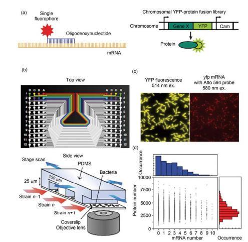 集成微流控芯片用于分析单个细胞中的单分子水平的 mRNA 和蛋白质表达[25] (a) 荧光标记的寡聚脱氧核糖标记单个 mRNA 分子, 黄色荧光蛋白融合的基因标记表达后的蛋白分子; (b) 芯片俯视图和实验装置示意图; (c) YFP 在细胞中的表达, 显示出被转录和翻译的基因; 与该基因对应的 mRNA 被转录; (d) 在某时刻时的 mRNA 转录水平和对应基因的蛋白 质被翻译水平关系图, 表明在该时刻转录水平和翻译水平之间没有显著的相关性
