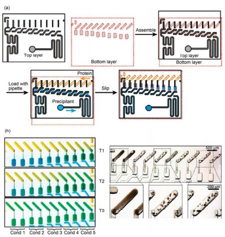 滑动微流控芯片进行蛋白结晶条件筛选实验[38] (a) 芯片实验过程示意图; (b) 不同管道构型和尺寸在实验过程中控制蛋白结晶反应平衡时间实验照片