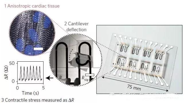 集成传感系统的心脏器官芯片设计