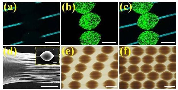 微载体在纤维上可滑动的特性所展示的同一组微纤维上的载体分散、堆叠状态下的光镜图
