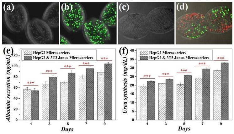 两组分微载体在细胞共培养方面的研究