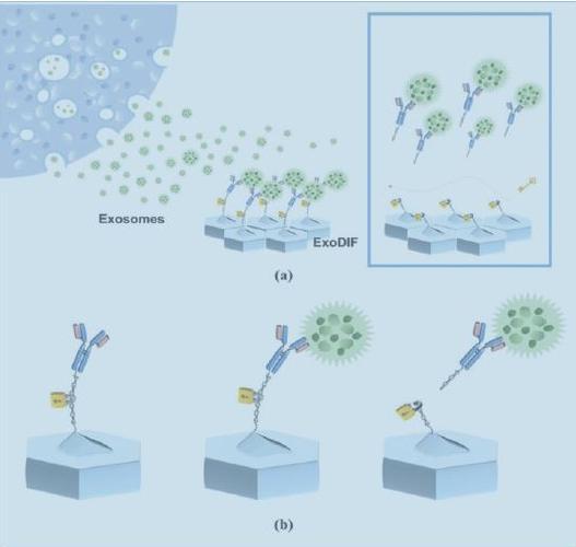 一种能高纯度捕获和释放外泌体的微流体装置原理