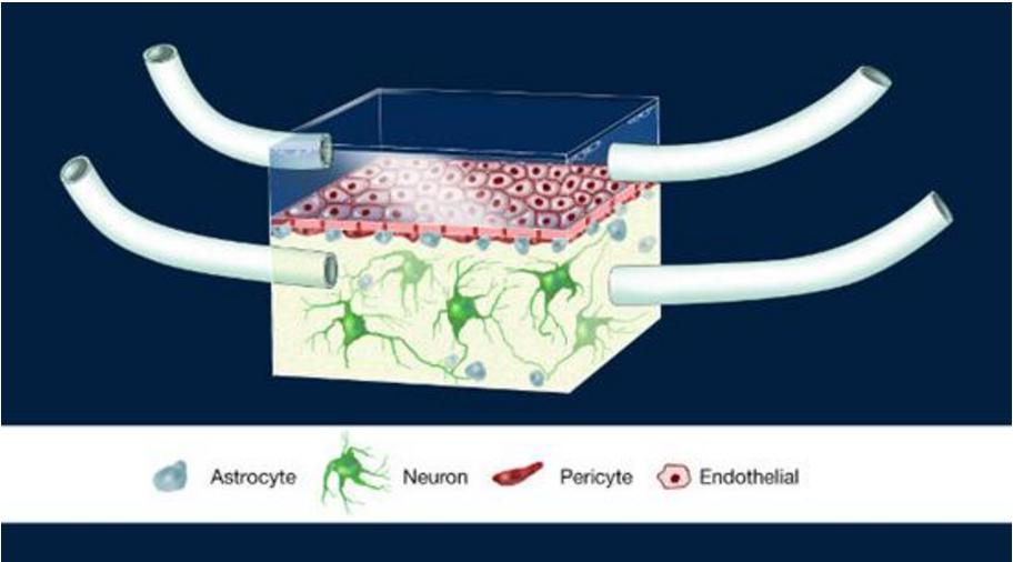 神经血管单元(Illustration of the NeuroVascular Unit, NVU)芯片图例,这是一款人类血脑屏障模型。多孔膜分离了大脑建模腔室和代表周围血管系统的腔室