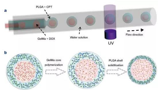 使用液滴微流控技术制备核壳结构微胶囊用于药物输送