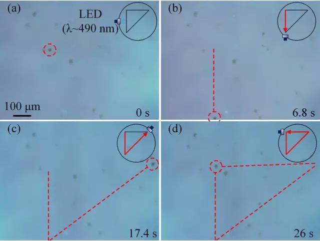 藻类细胞机器人沿着三角形轨迹运动