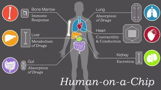 微型人类器官诞生—肝脏芯片