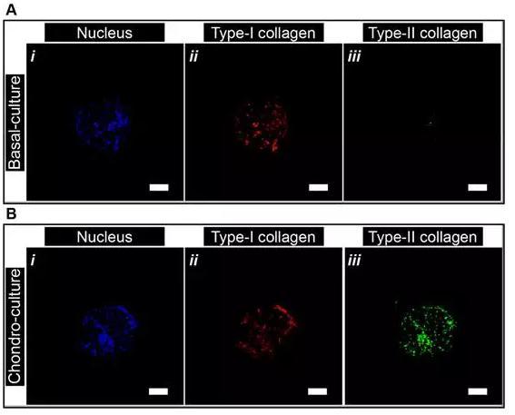 微流控封装人间充质干细胞用于关节软骨组织工程