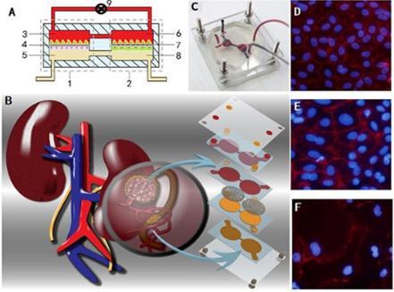 肾芯片结构和实物示意图及细胞照片