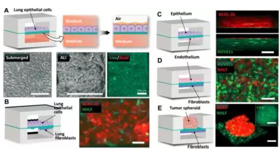究人员将人肺上皮细胞培养于装置中,用来重建空气-肺界面