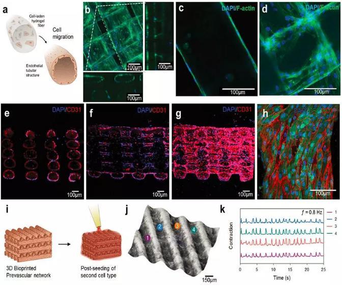微流控生物打印异质3D组织结构