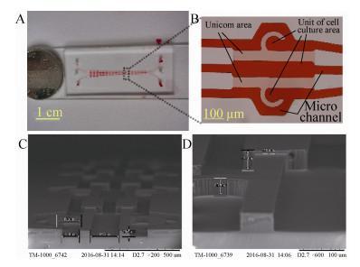 图4 细胞芯片图像 (A:实物图;B:单元光学图; C 和 D:SEM 图像)