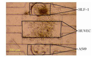 图 7 三种细胞在芯片腔体内共培养 (24 h)