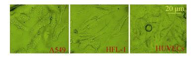 图8 在芯片腔体内各细胞形态图 (24 h)