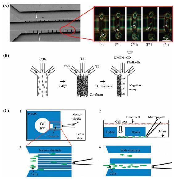 图5微流控芯片细胞迁移研究