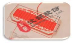 胚胎水平药物筛选微流控芯片