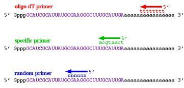 RT-PCR:不同的RT引物类型