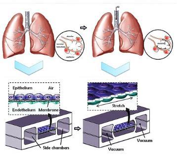 人类肺泡上皮细胞和肺微血管内皮细胞在PDMS芯片中培养以模拟肺功能
