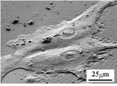 SEM 2D细胞培养图像