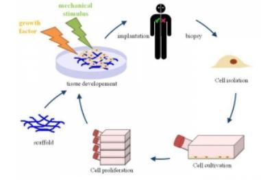 用于组织工程的3D细胞培养