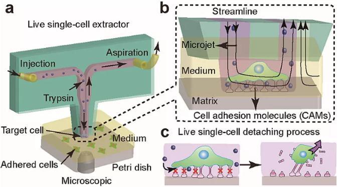 图1. 基于微流控芯片的单细胞提取与原位分析技术。