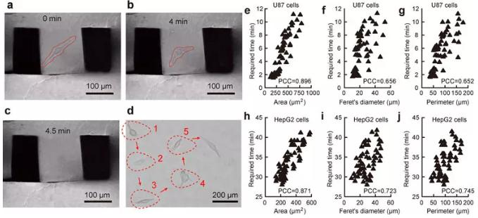 图2. 单细胞原位提取过程及细胞粘附性与细胞形态的关联性。