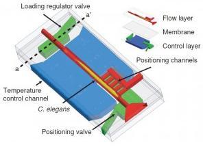 微流控芯片固定线虫