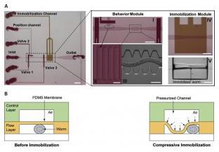 线虫 在微流控芯片上的压缩固定