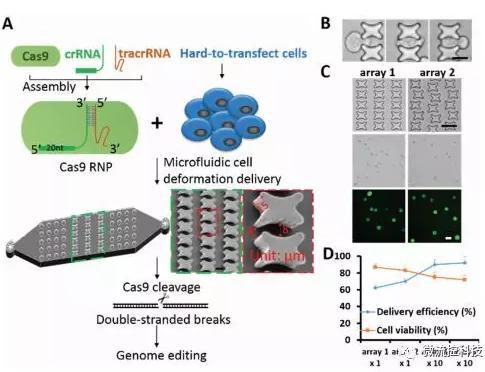 微流控芯片技术助力免疫治疗,将CRISPR体系传递到人类T细胞