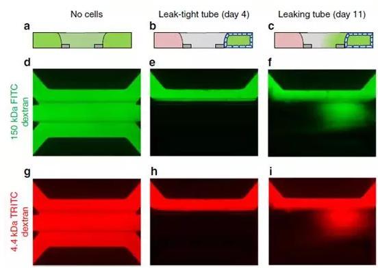 Caco-2管的屏障功能通过在管腔中灌注有荧光探针的培养基来评估
