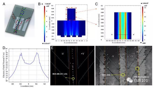 图4. 无标记物分类分离细胞功能A)微流控芯片示意图;B)微流控管道内电势分布计算图;C)电势分布局部放大;D)横截面电势分布图;E)显微照相图