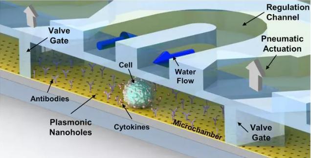腔体会接收来自微流控微通道的平稳的水流和营养流