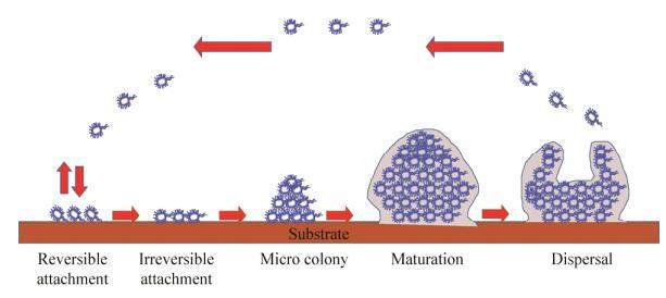 图1生物被膜形成过程示意图
