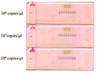 图7皮肤高危型别组HPV型别灵敏性检测