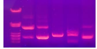 荧光探针的qPCR特异性