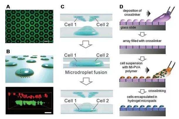 基于液滴微阵列的水凝胶阵列用于细胞培养