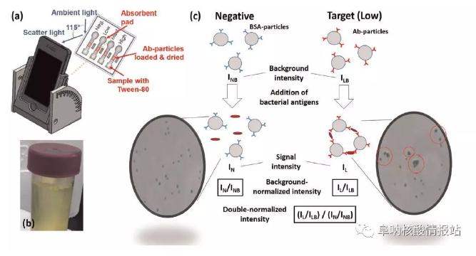 图1. 基于智能手机的纸基微流控检测大肠杆菌和淋球菌的示意图