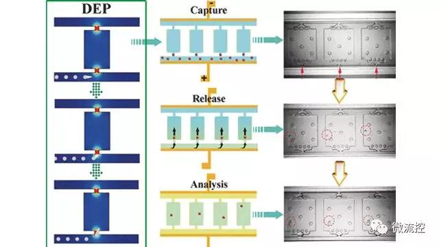 新型微流控芯片实现电场捕获细胞