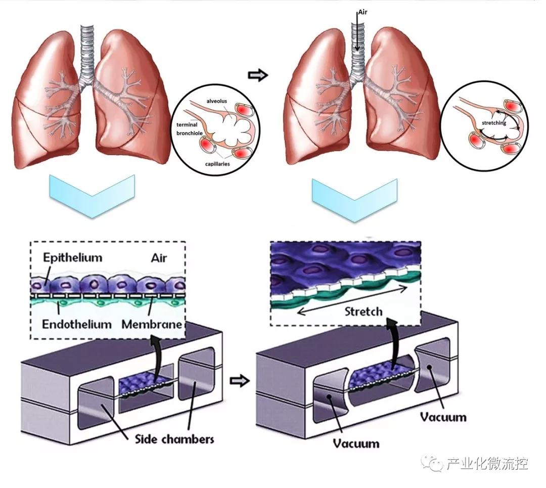 肺芯片装置及功能示意图