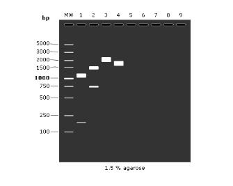 看PCR产物的电泳条带