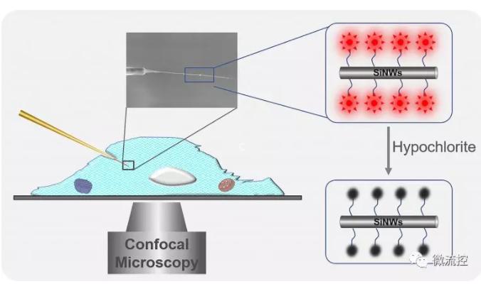 单根硅纳米线荧光传感器实现单细胞中内源性次氯酸的检测