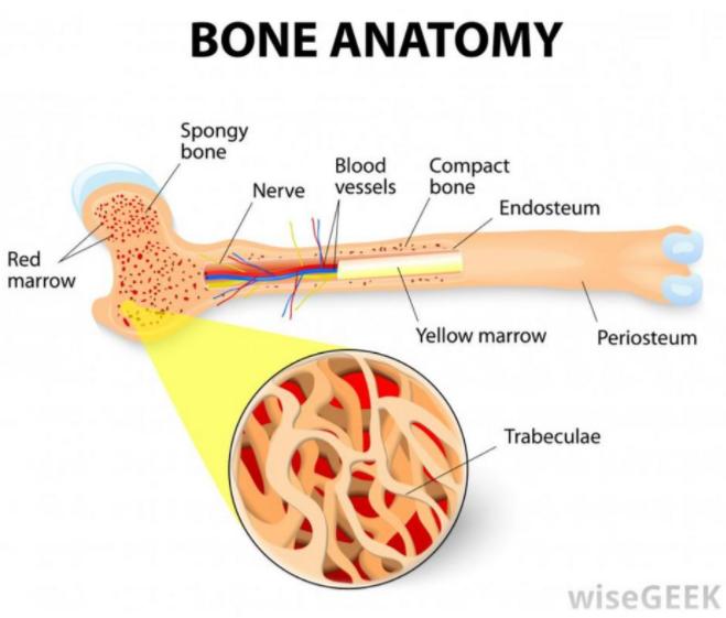 骨髓芯片 Bone marrow–on–a–chip-骨髓造血干细胞的体外生物生理学