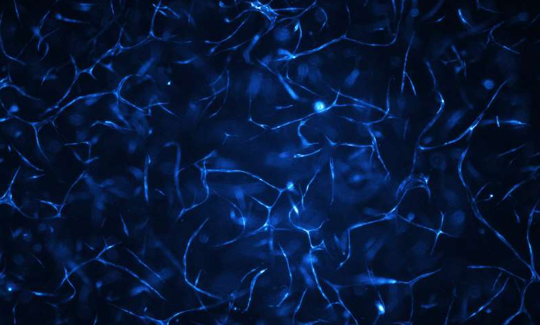 人体血管系统生长在生物芯片上。图片来源:维也纳科技大学