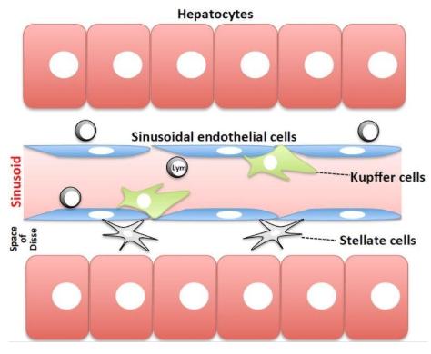 图1.肝窦的方案。血液流动的正弦曲线与由肝细胞组成的薄壁组织,通过窦状内皮细胞膜和Disse空间分离。4种主要类型的细胞是内皮细胞,库普弗细胞和星状细胞(非实质细胞)和肝细胞。图来自Tsutsui等[9]。