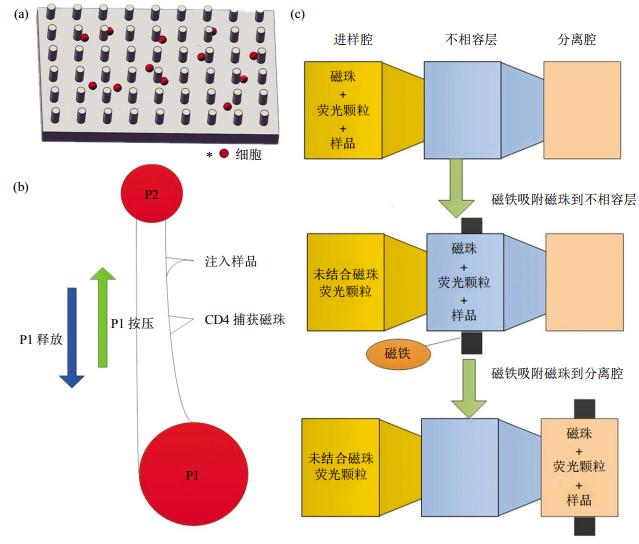 图2免疫捕获细胞分离芯片结构示意图(a)抗体特异性细胞捕获示意图。(b)磁珠细胞分离芯片示意图。(c)表面张力不相容过滤筛选芯片示意图