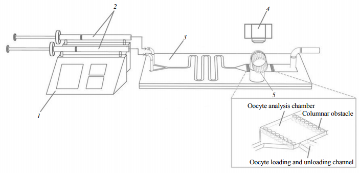 Fig.1Aschematicillustrationofthemicrofluidicexperimentalsystem1:Microinjectionpump;2:Micro-syringe;3:Y-microfluidicchip;4:Stereoscopicmicroscope;5:Oocytechannel.