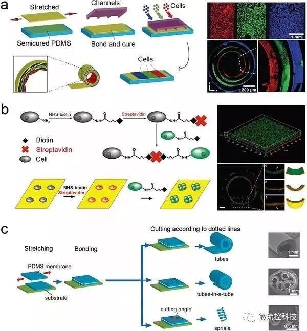 图5.通过应力诱导自卷曲膜(SIRM)来合成管状组织结构