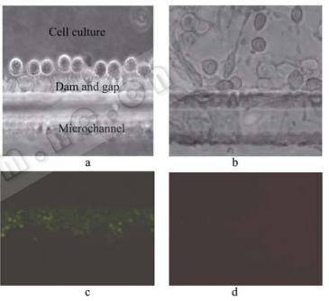图5细胞在芯片内的图片
