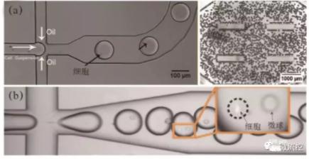图3 微流控液滴生成与单细胞包裹图